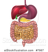 Vector Illustration of a 3d Diagram of the Human Digestive System, Digestive Tract, Alimentary Canal by AtStockIllustration