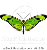Vector Illustration of a Beautiful Green Butterfly or Moth by AtStockIllustration