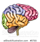 Vector Illustration of a Colorful Anatomically Correct Human Brain by AtStockIllustration