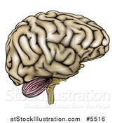 Vector Illustration of a Human Brain in Profile by AtStockIllustration