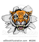 Vector Illustration of a Mad Tiger Mascot Head Breaking Through a Wall by AtStockIllustration