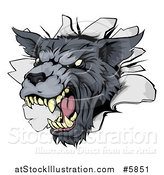 Vector Illustration of a Snarling Gray Wolf Mascot Head Breaking Through a Wall by AtStockIllustration