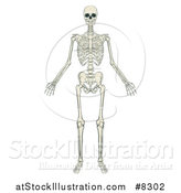 Vector Illustration of an Anatomically Correct Human Skeleton by AtStockIllustration