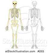 Vector Illustration of Human Skeletons by AtStockIllustration