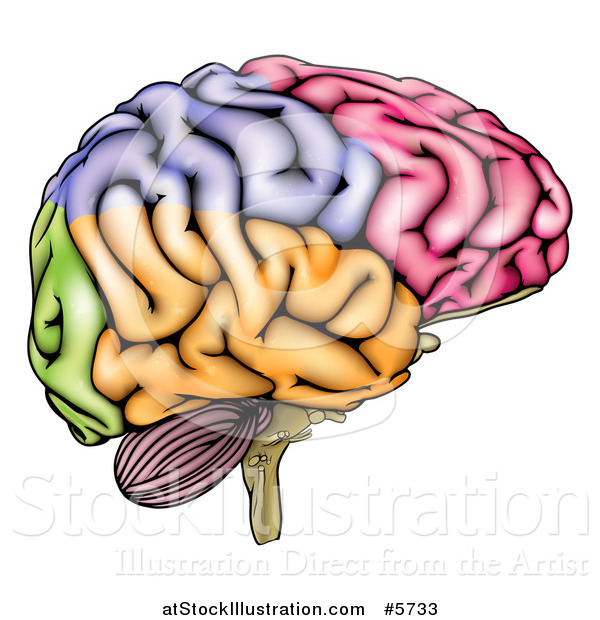 Vector Illustration of a Colorful Anatomically Correct Human Brain