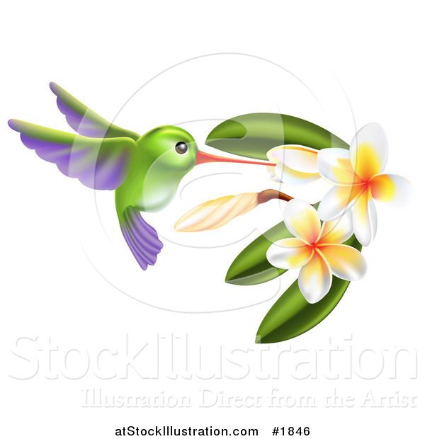 Vector Illustration of a Green and Purple Hummingbird with Plumeria Flowers
