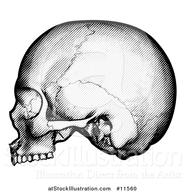 Vector Illustration of a Human Skull in Profile, Black and White Vintage Etched Style