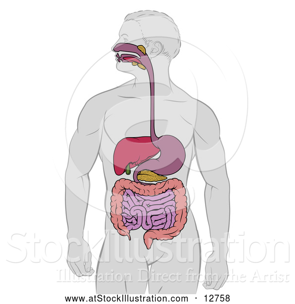 Vector Illustration of a Man with Visible Digestive Tract
