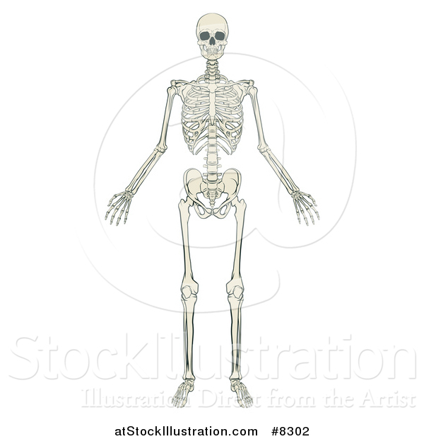 Vector Illustration of an Anatomically Correct Human Skeleton