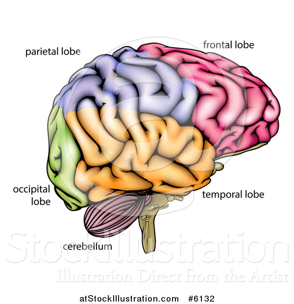 Vector illustration of a human brain diagram by atstockillustration vector illustration of a human brain diagram ccuart Images